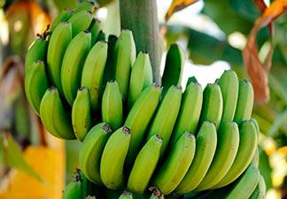 como fazer biomassa de banana verde