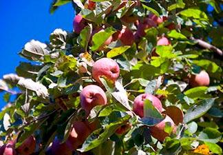 o que é maçã