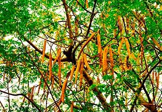 árvore baqueta
