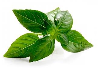 planta alfavaca