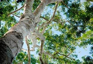 copaifera officinalis